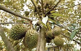 53+ Gambar Pohon Durian Yang Lebat Buahnya HD