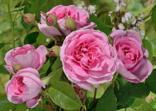 Gertrude Jekyll сорт розы