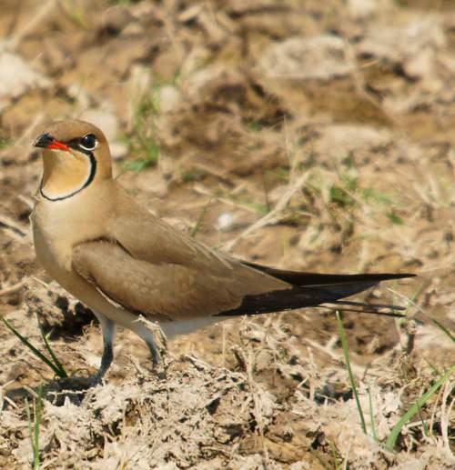 Birds of India - Photo of Collared pratincole - Glareola pratincola