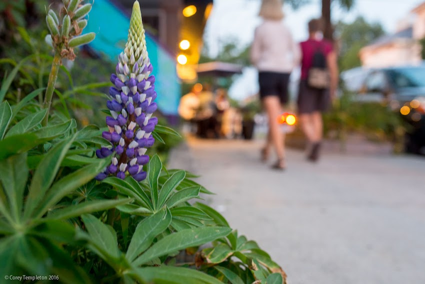 Portland, Maine USA July 2016 photo by Corey Templeton A fancy looking flower (is this a lupine?) along a sidewalk on Munjoy Hill.