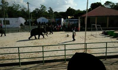 Atraksi gajah taman nasional way kambas