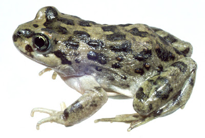 anfibios de Argentina Ranita solitaria Atelognathus solitarius
