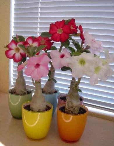 Адениум цветы комнатные купить
