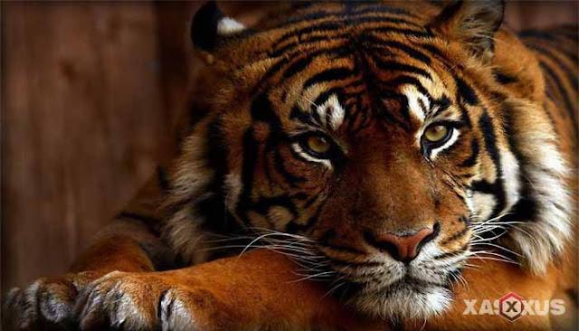 16 Arti Mimpi Harimau Lengkap Menurut Islam dan Primbon Jawa