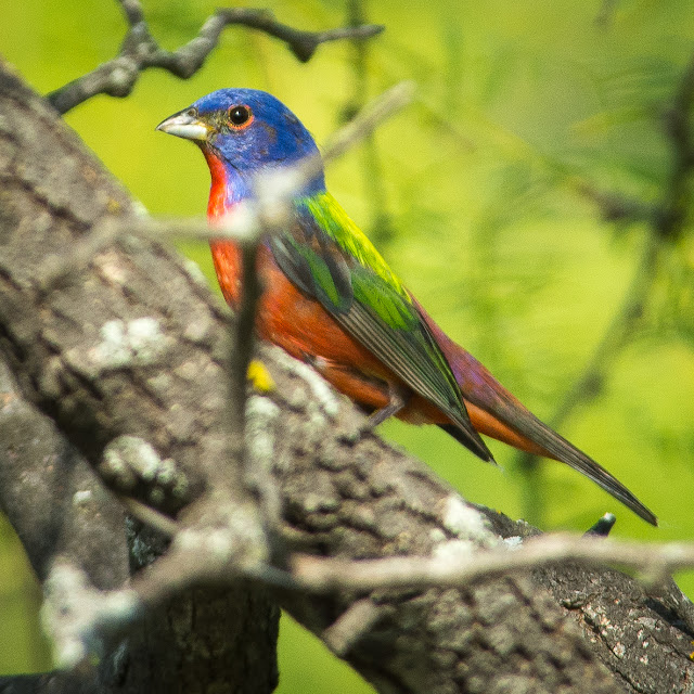 Painted Bunting, Cross Timbers Trail