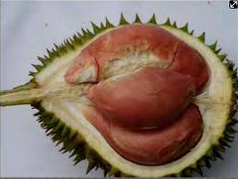 Durian Bhinneka Bawor Durian Bawor Itu Juga Memiliki Daging Buah Yang