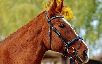 Wallpaper: Horse Portrait
