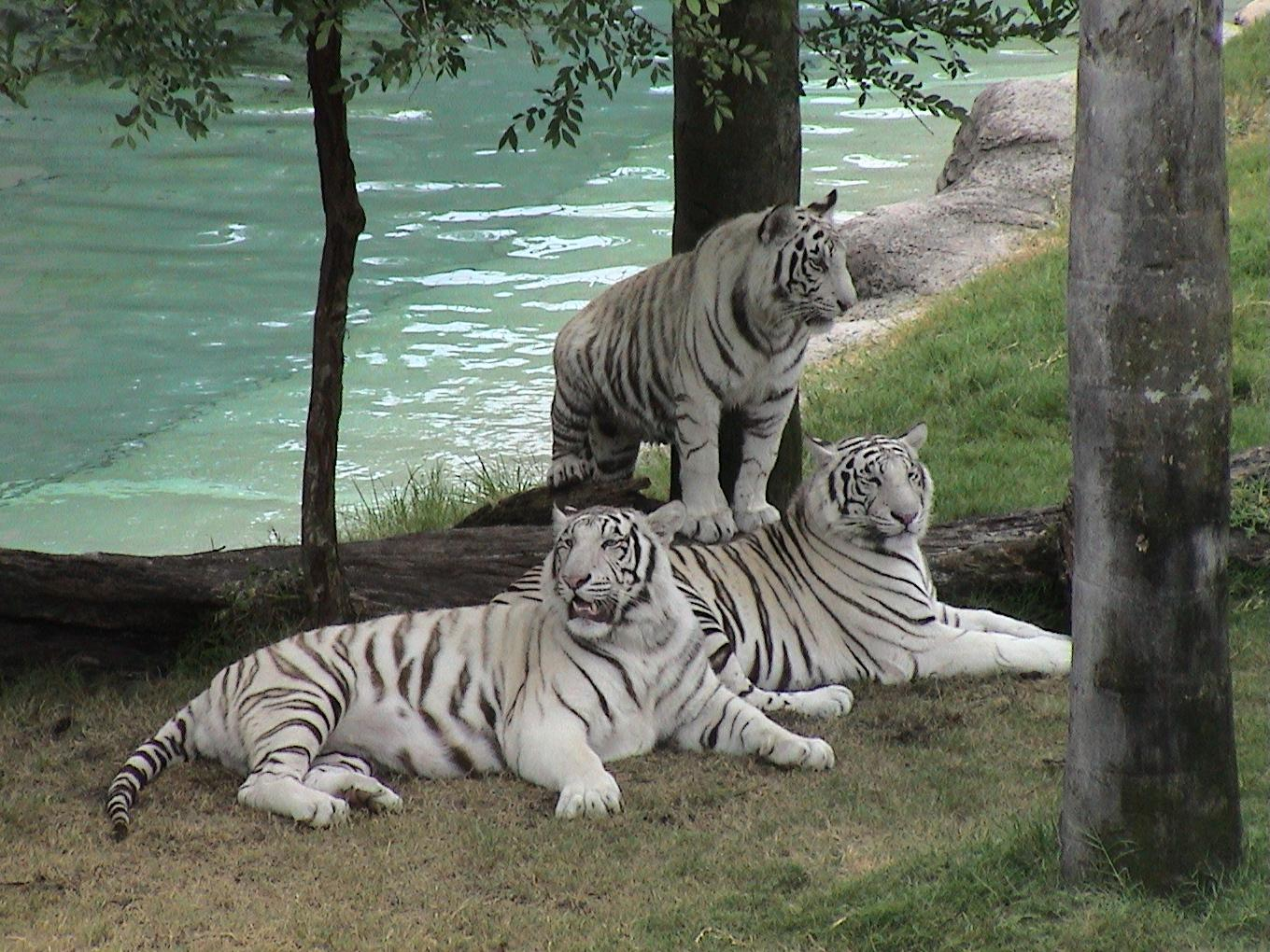 Desktop Nature Wallpaper White Tigers Free Desktop