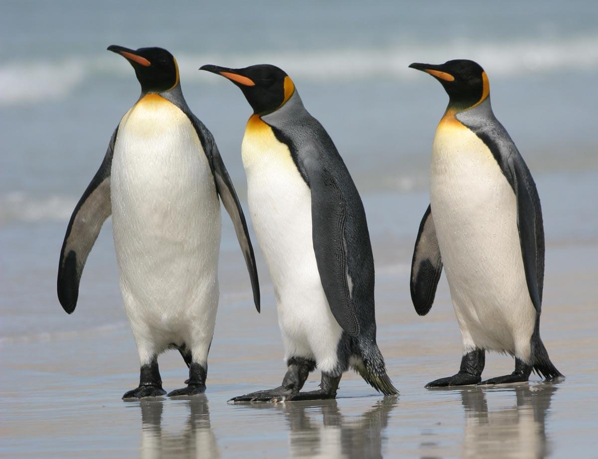 Animated Christmas Tree Wallpaper Penguin The Biggest Animals Kingdom