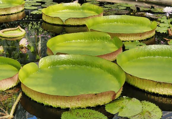 Flora-Vitória-Régia