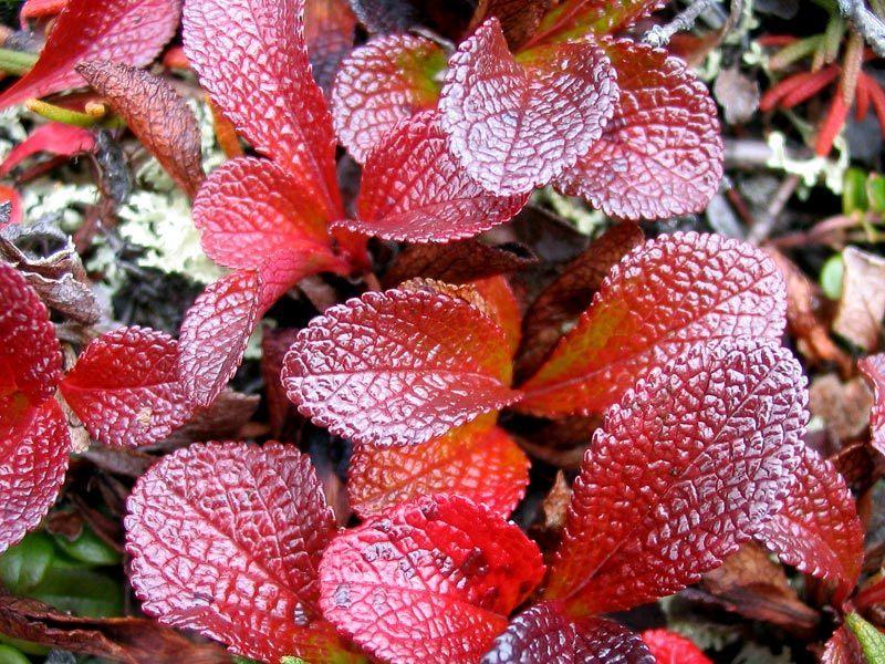 Tundra Biome Plants