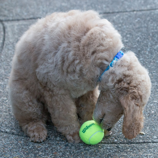 My Apricot Standard Poodle