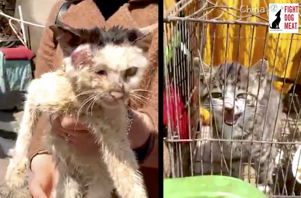 Stop Female Cat Heat Without Castration