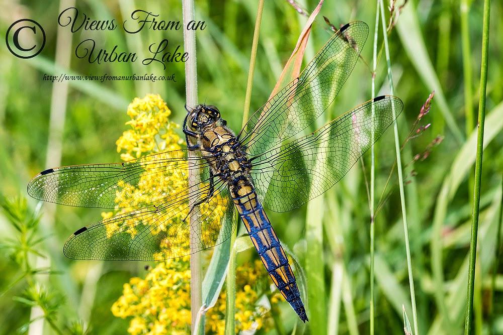 Black-Tailed Skimmer  (Orthetrum cancellatum) Immature Male- Loughton Valley Park, Milton Keynes (2014)
