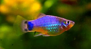 Gambar ikan platy Blue Mickey Mouse serta harganya