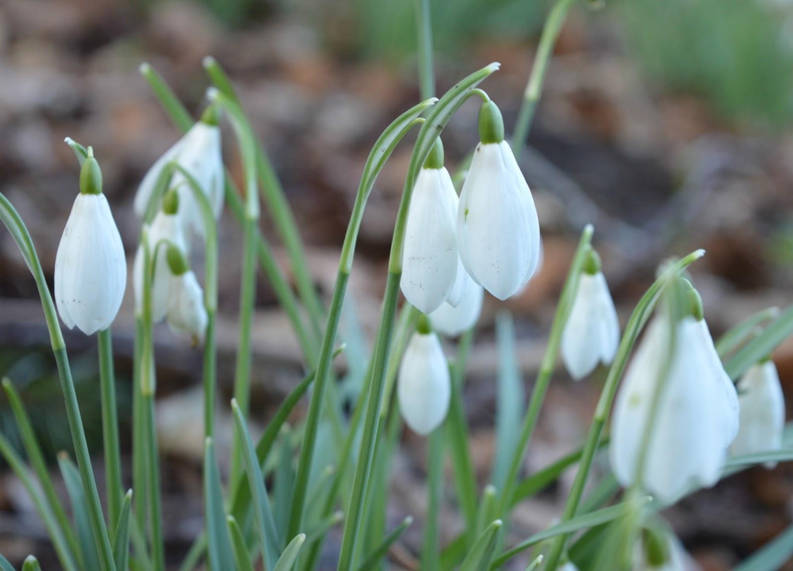 Snowdrops Wallington National Trust