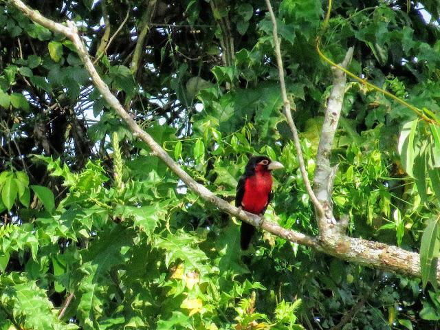 Double-toothed barbet bird in Bigodi Wetlands in Western Uganda
