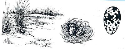 nido de Aguatero Nycticryphes semicollaris
