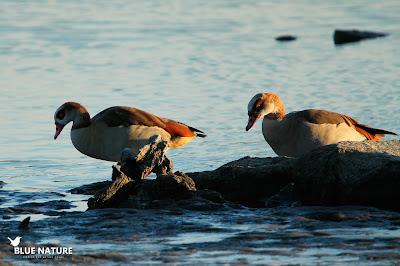 Una pareja de gansos del Nilo (Alopochen aegyptiacus)