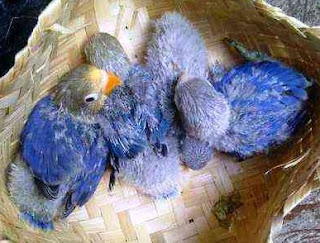Proses Perawatan Anakan Lovebird Umur 2 Minggu Yang Baik Dan Benar