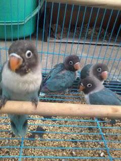 Cara Beternak Lovebird yang Baik bagi Pemula
