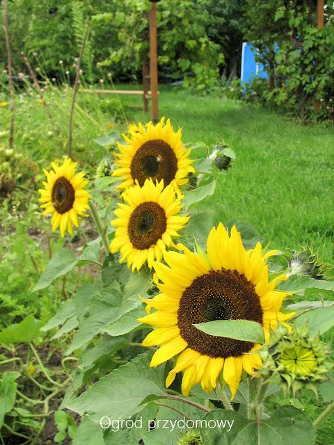 tegoroczne plony, ogród przydomowy