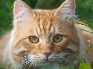 American Bobtail Cat Breed Information