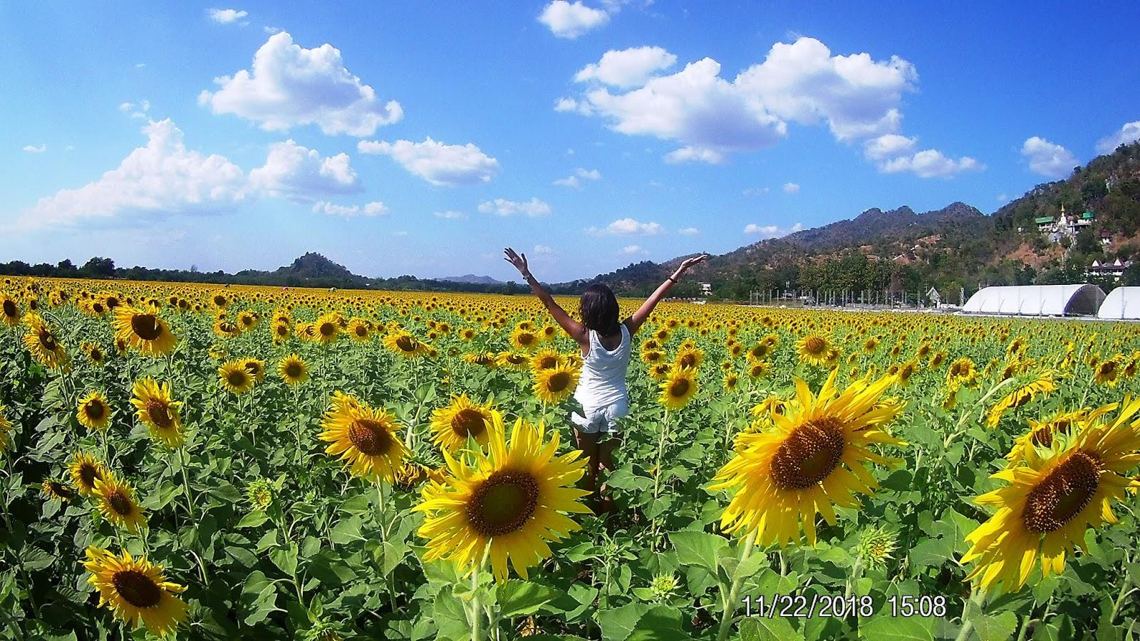 How to visit Lopburi Sunflower Fields | Ummi Goes Where?