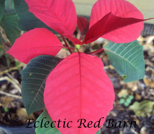 Blooming Poinsettia Plant in yard