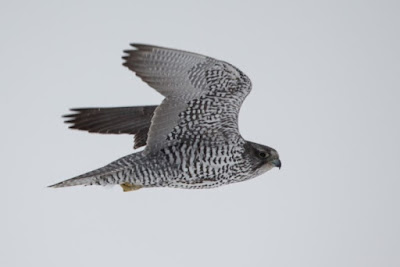 Gyr Falcon - 209 km/jam