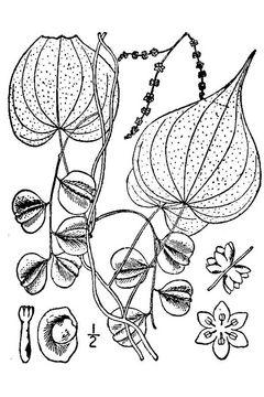 Dioscoreaceae: family of flowering plants having great