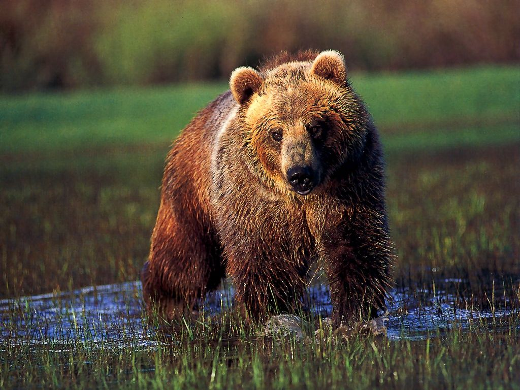 Wild Life Animal: Grizzly Bear is Active Animal - photo#11
