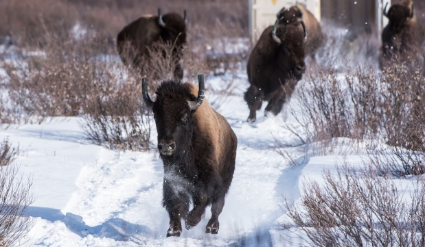 Wild bison roam Banff National Park for 1st time in more than century