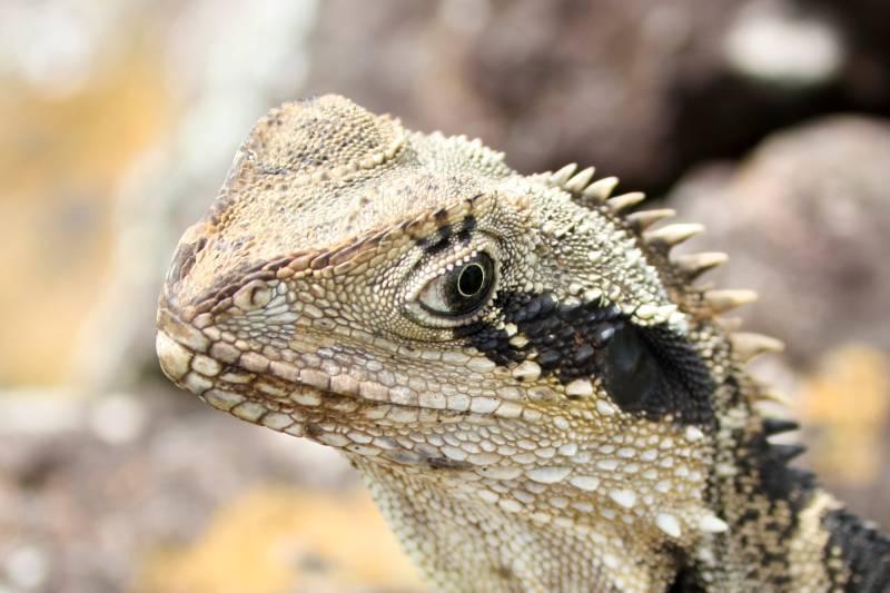 Australian Water Dragon Lizard: Pet Reptile Pictures