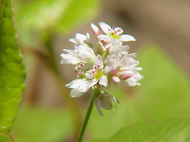 Hoa Mạch ba góc - Fagopyrum esculentum - Nguyên liệu làm thuốc Hạ Huyết Áp