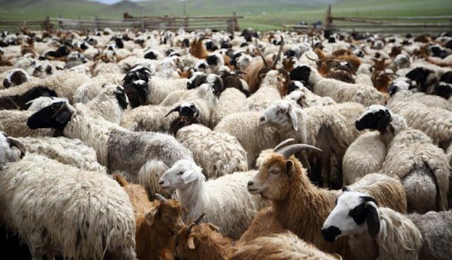Μετά την αγελαδοτροφία καταστρέφουν και την αιγοπροβατοτροφία