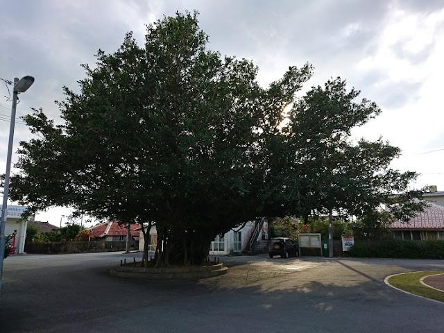 久志区のガジュマルの木の写真