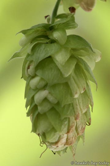 One hop, slightly brown and dried off on the underside, ready to pick - GodsOwn Brewery, owned by Godfery Quemeneur and Rachel Downes, at Maraekakaho, Hawke's Bay. photograph