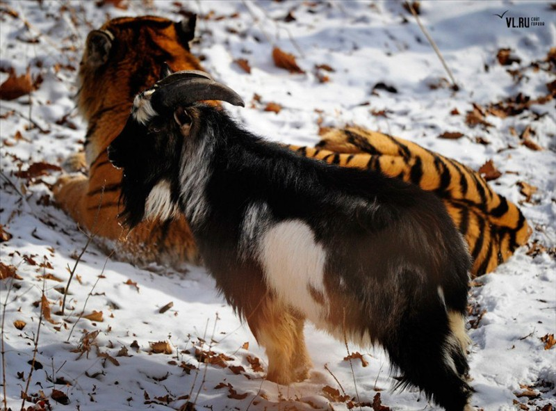 An unusual friendship between a tiger and a goat