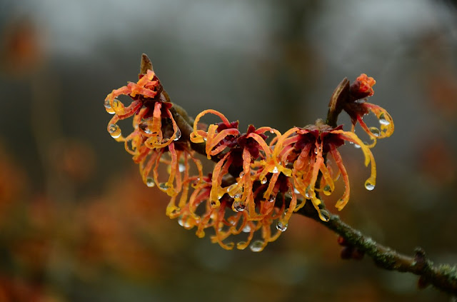Orange coloured witch hazel