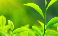 daun teh hijau