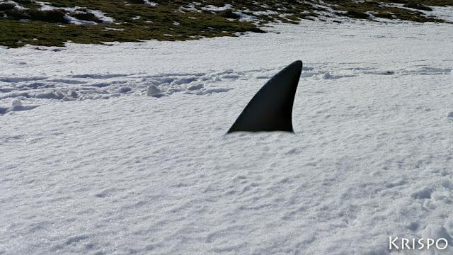 tiburon nadando en la nieve