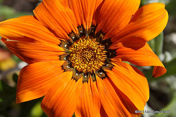 Clumping gazania (Gazania rigens) flower close-up