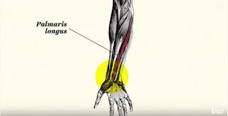 Coba Perhatikan, Adakah Otot Ini di Tanganmu?
