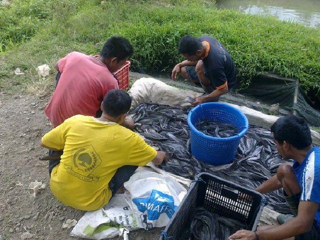 Cara Penjualan Ikan Lele