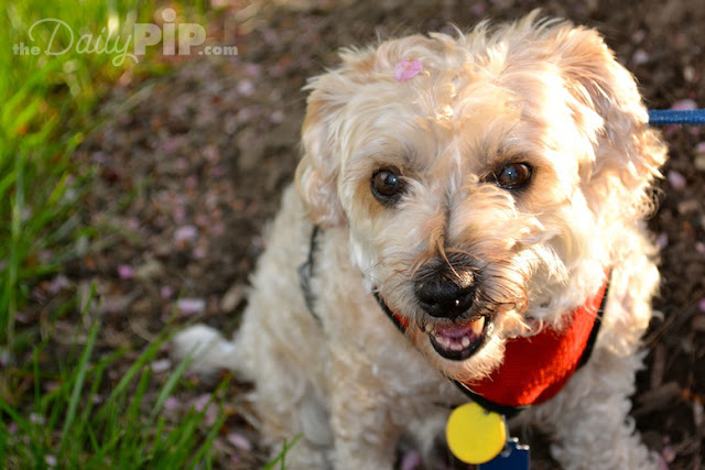 Ruby enjoys spring with petals on her head in her new family yard