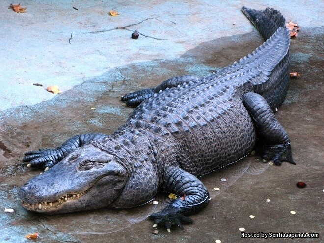 Tahukah Anda Buaya Dan Aligator Sebenarnya Berbeza!