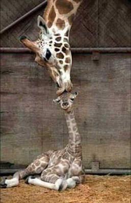 Fotos de Colección: tierna imagen de jirafa
