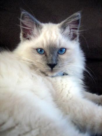 Manx cat - Kittens for sale, Manx kittens, Manx Breeder