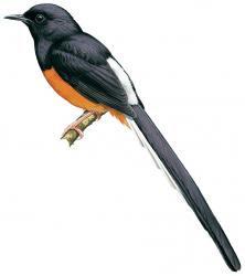Copsychus malabaricus (Kucica Hutan)